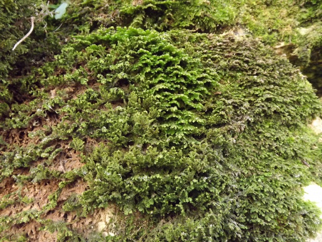 flore des vieux murs, rochers  et rocailles naturelles - Page 4 846830mousse1