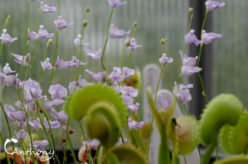 Mixte Dionée Utricularia 852541IMGP5721