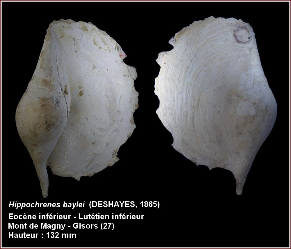 Strombidae - † Hippochrenes baylei (Deshayes, 1865) - Lutécien moy. (Gisors 27) 854177plbaylei2