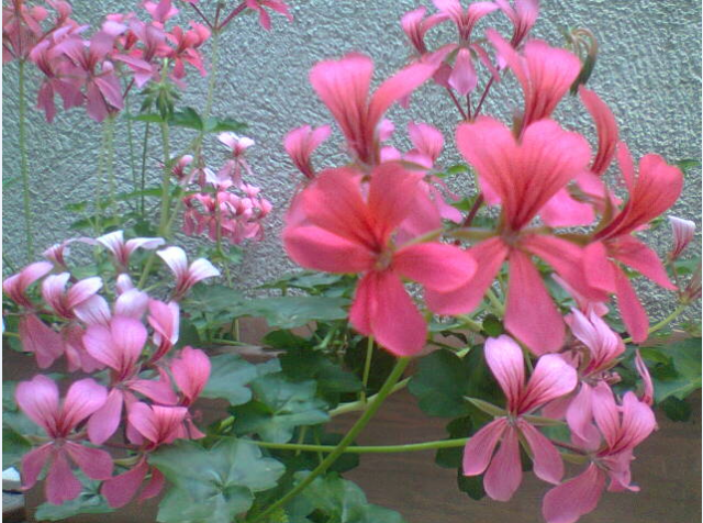 Fleurs  858684geranium