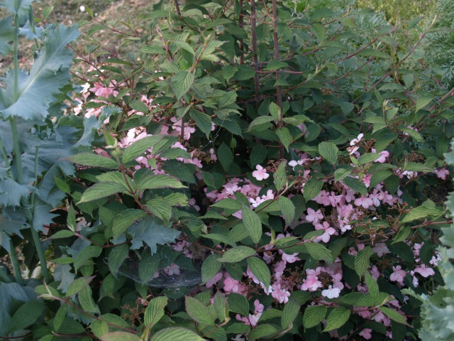 viburnum plicatum molly schroeder 860797P6057760