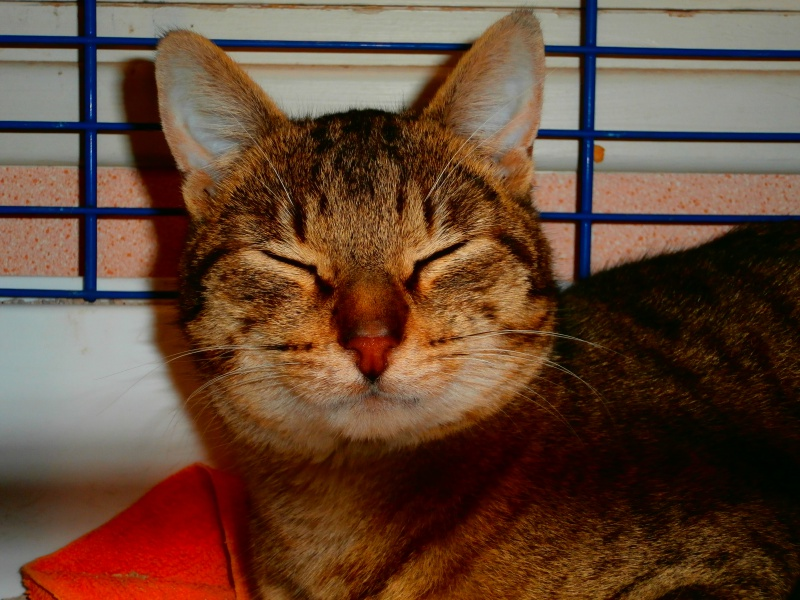 Azalé ( chat mâle tigré ) 862035P2172341