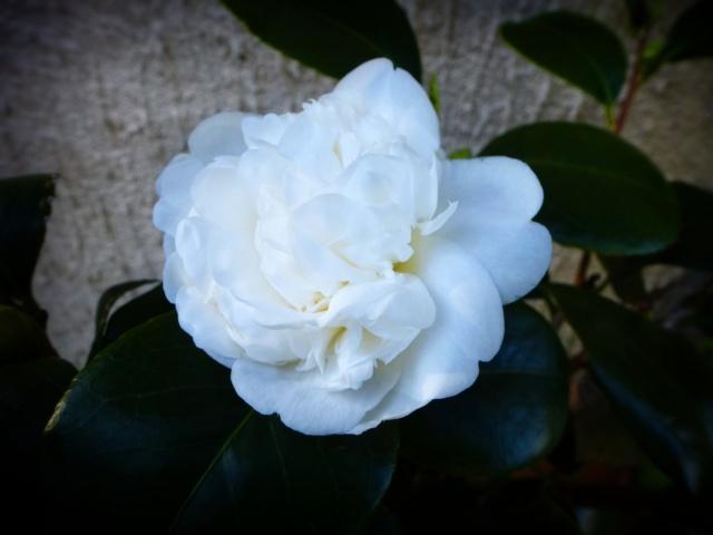 Camellia japonica 'Nobilissima' 867884tuxpicom1414160630