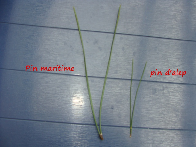 Pin  d'alep? 867998DSC05511