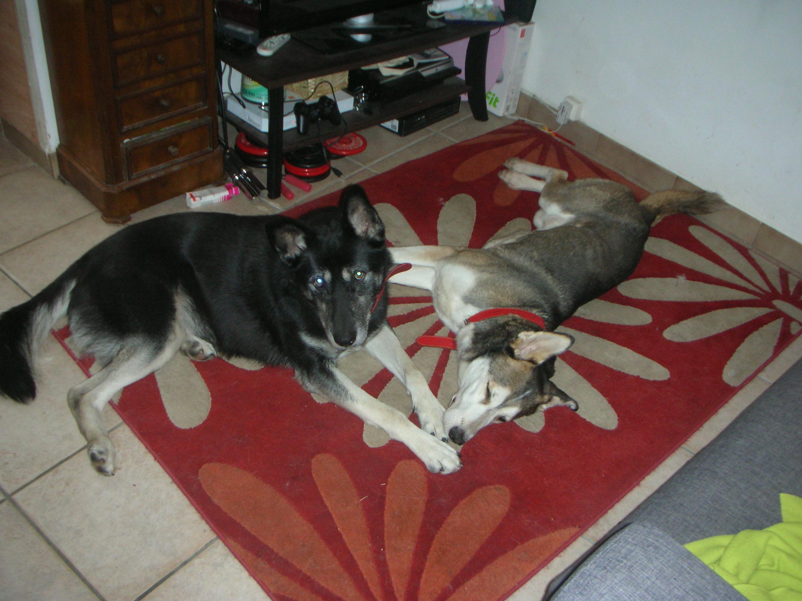 Link Berger X Husky mâle 5 ans gris et blanc PAR:38 ADOPTE 876034DSCN1985