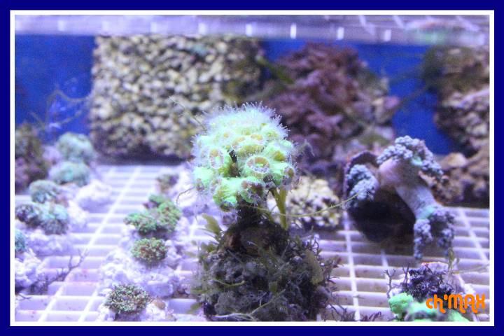 ce que j'amène en coraux a orchie  876684PXRIMG0017GF