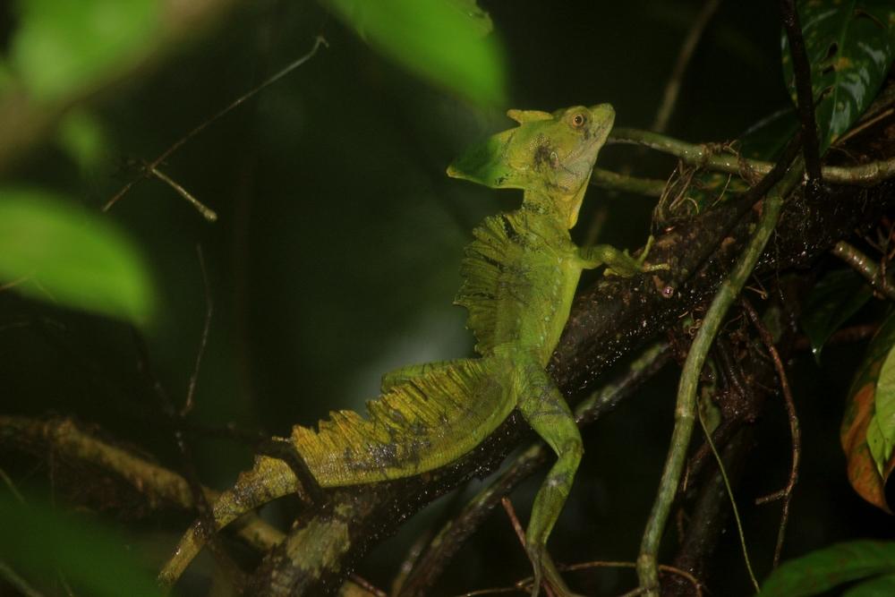 15 jours dans la jungle du Costa Rica 876783plumifrons3r