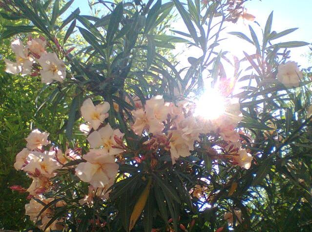 Fleurs  877314laurier