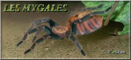 Les mygales 879886Ban2p