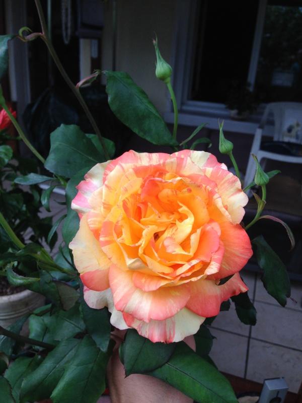 le royaume des rosiers...Vive la Rose ! - Page 13 880640IMG5677