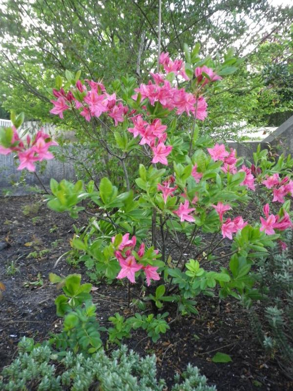avril, jardin fébrile - Page 7 883748AzaleaIMGP4489