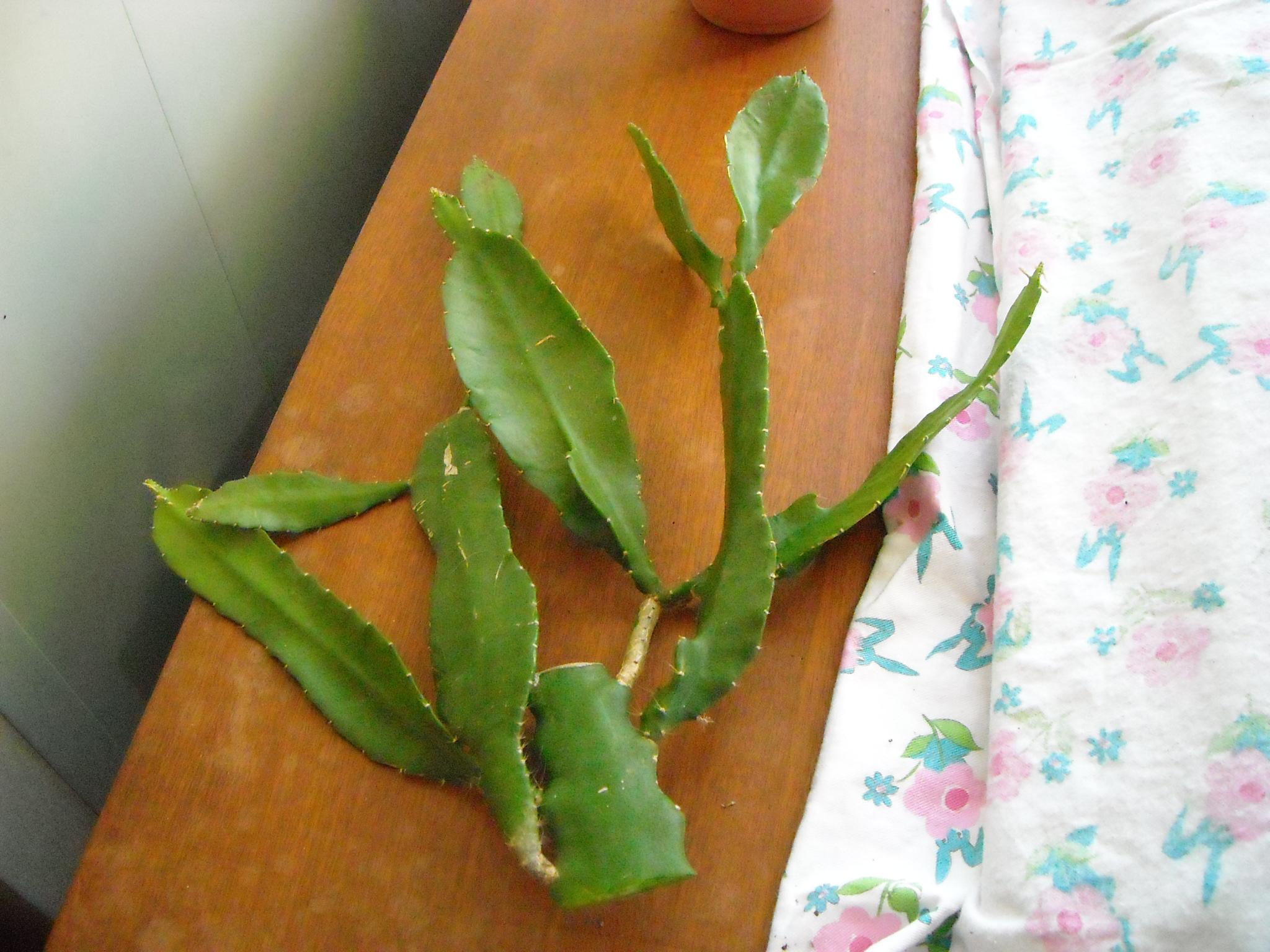 epiphyllum 884458epiphyllum001