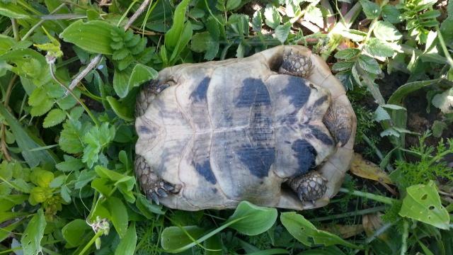 Différents taxons de T. graeca 88469620140227123300