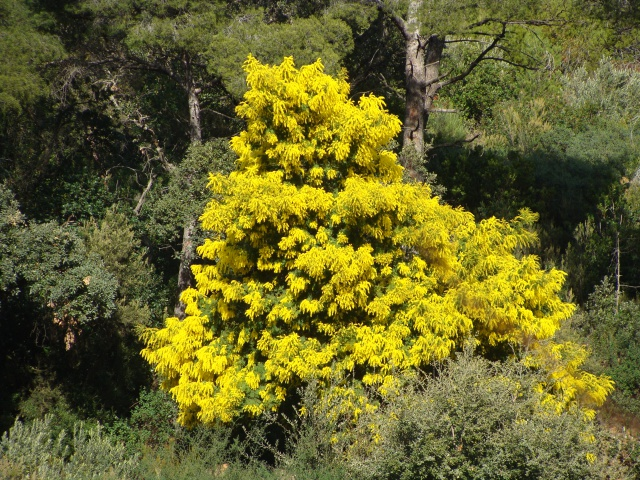 ça commence a fleurir...(Mimosa, Acacia dealbata) - Page 4 888821DSC05248