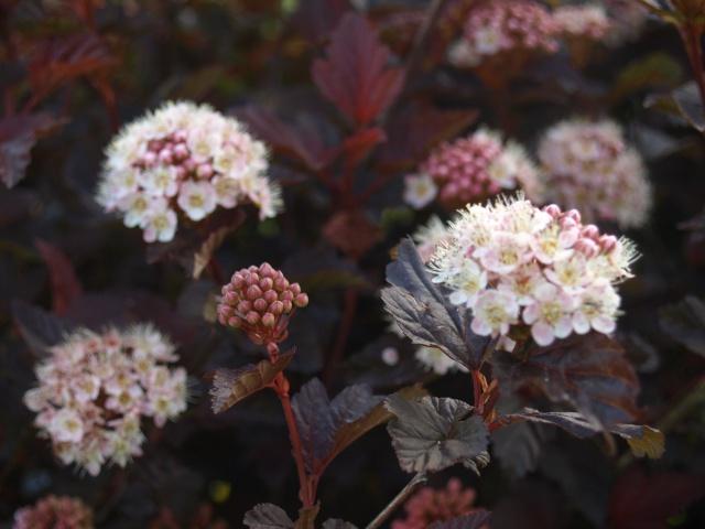 physocarpus red baron 888857P5282062
