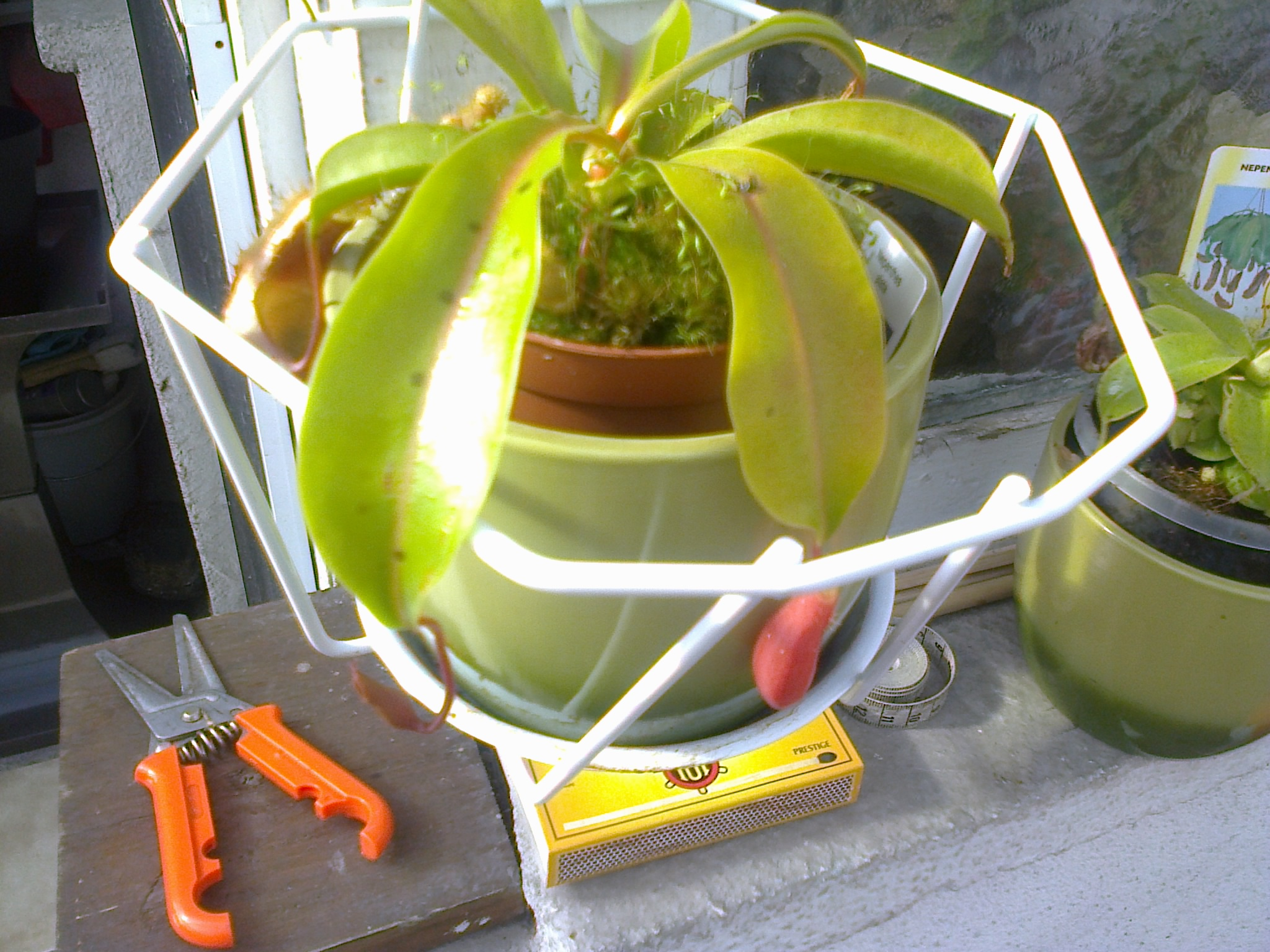 jeune plantes carnivores 892009Photo0094
