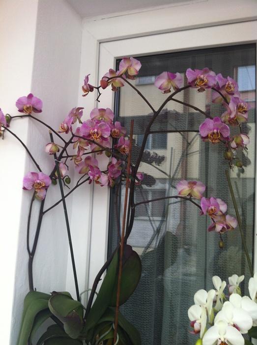 Reinflorire phalaenopsis forumul-florilor - Pagina 5 892190IMG2729