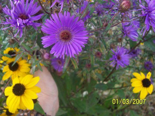 les plantes que je propose 893238fleurs_du_jardin_064___