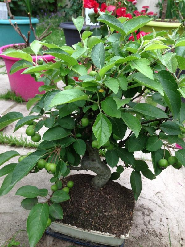 mes bonsaïs - Page 7 897041IMG5646