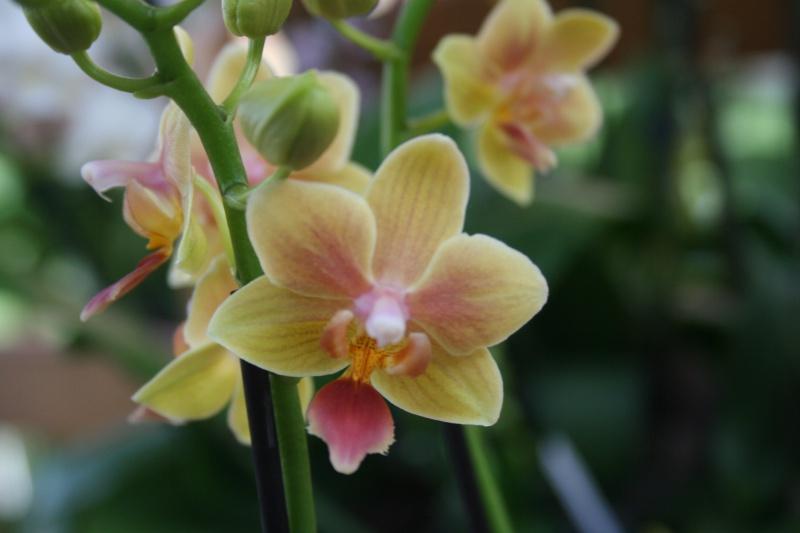 phalaenopsis sunny smell  904304IMG8738