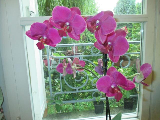 2 Phalaenopsis hybrides 904465IMG7413