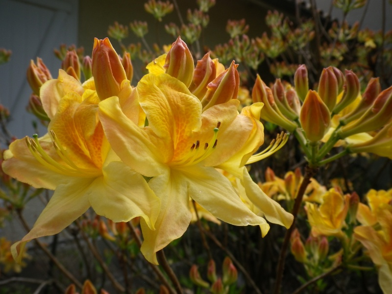 avril, jardin fébrile - Page 5 905313IMGP4330
