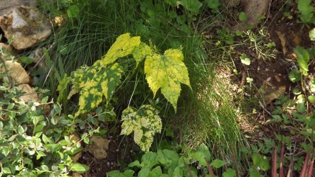 Quelques plantes d'ombre ou mi-ombre - Page 2 907269DSCF0737