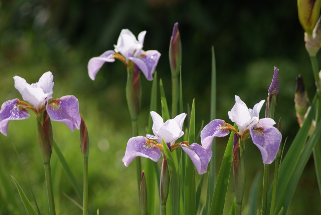 Iris sibirica - iris de Sibérie 922070002