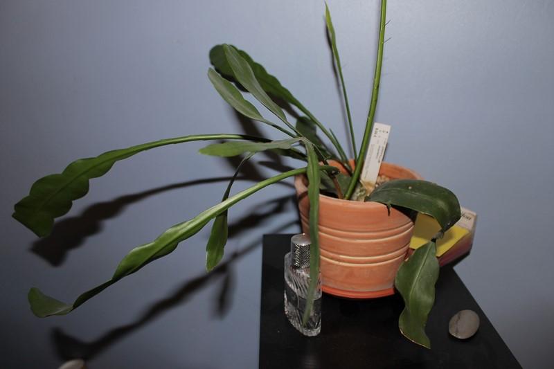 Epiphyllum Oxypetalumca pousse mais pas encore de fleurs! 92353712dcembre20157
