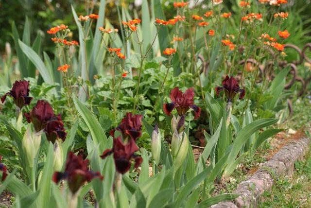 Associer nos iris à d'autres plantes pour de beaux massifs - Page 2 923781009