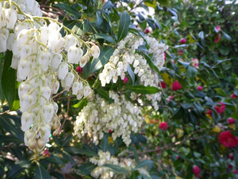 Quelques floraisons 923965PierisIMGP2557