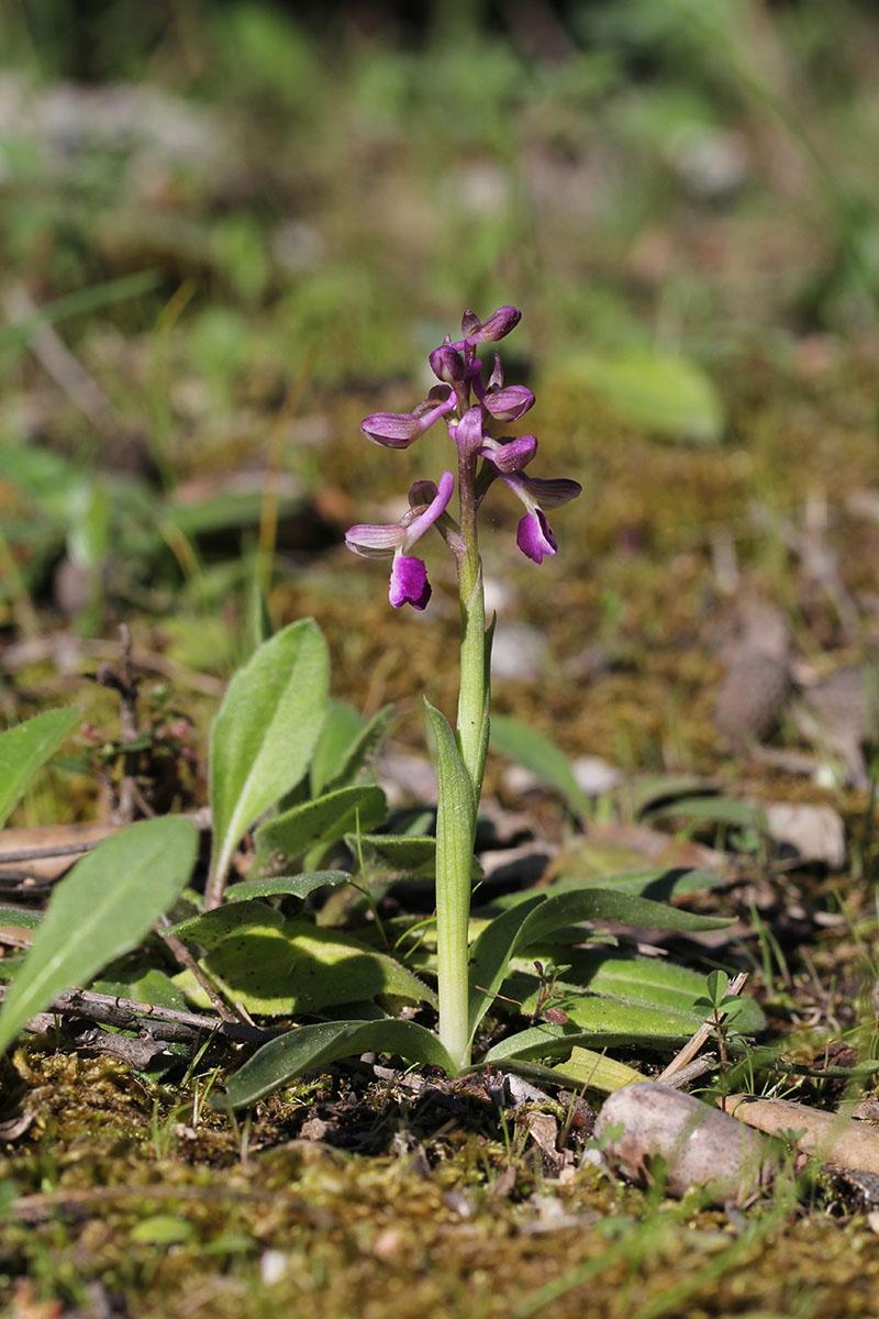 Anacamptis longicornu ( Orchis à long éperon ) 931424IMG5405forum