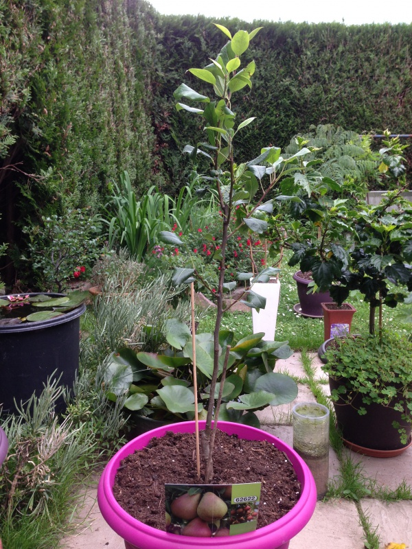 Les Arbres Fruitiers Nains! 933523IMG5631