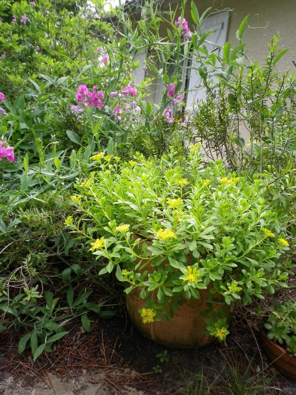 cadeaux du jardin, juin juin - Page 6 934593IMGP4849
