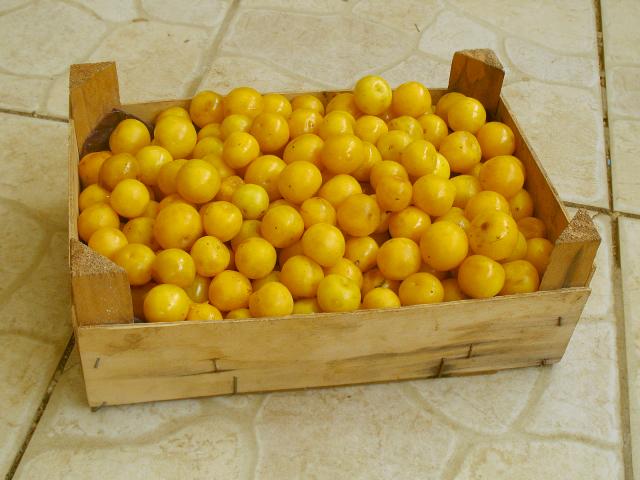 [Nourriture] Subsistance à coût 0, plantes et fruits sauvages - Page 4 934662prune02