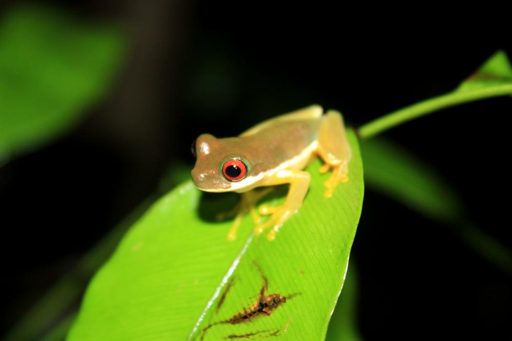 15 jours dans la jungle du Costa Rica - Page 2 935080duelmanohyla2r