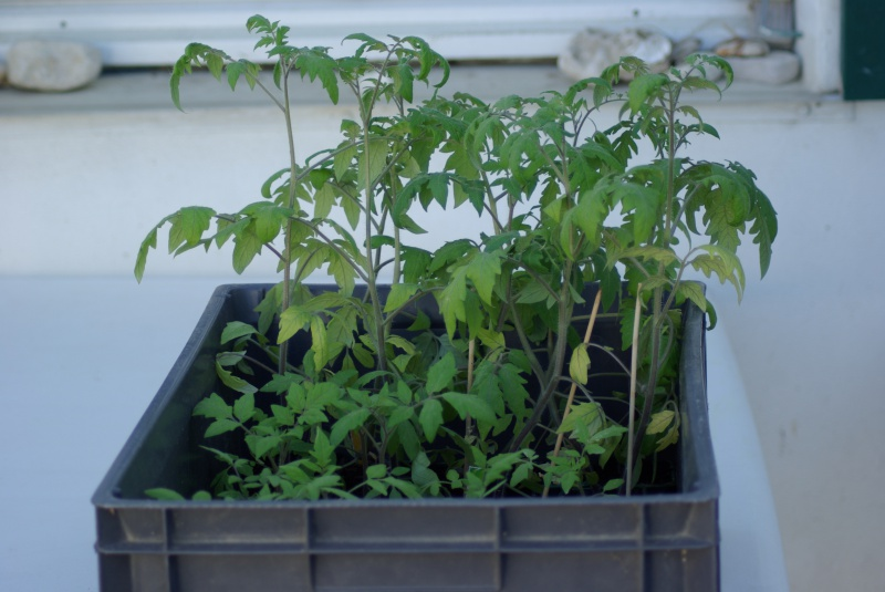 semis de tomates - Page 23 937966IMGP7670