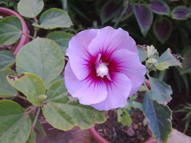 Mes hibiscus et moi...une longue histoire 94142660