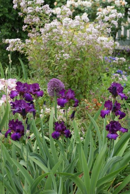 Associer nos iris à d'autres plantes pour de beaux massifs - Page 2 944492004