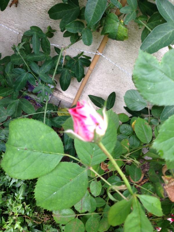 le royaume des rosiers...Vive la Rose ! - Page 13 948114IMG5682