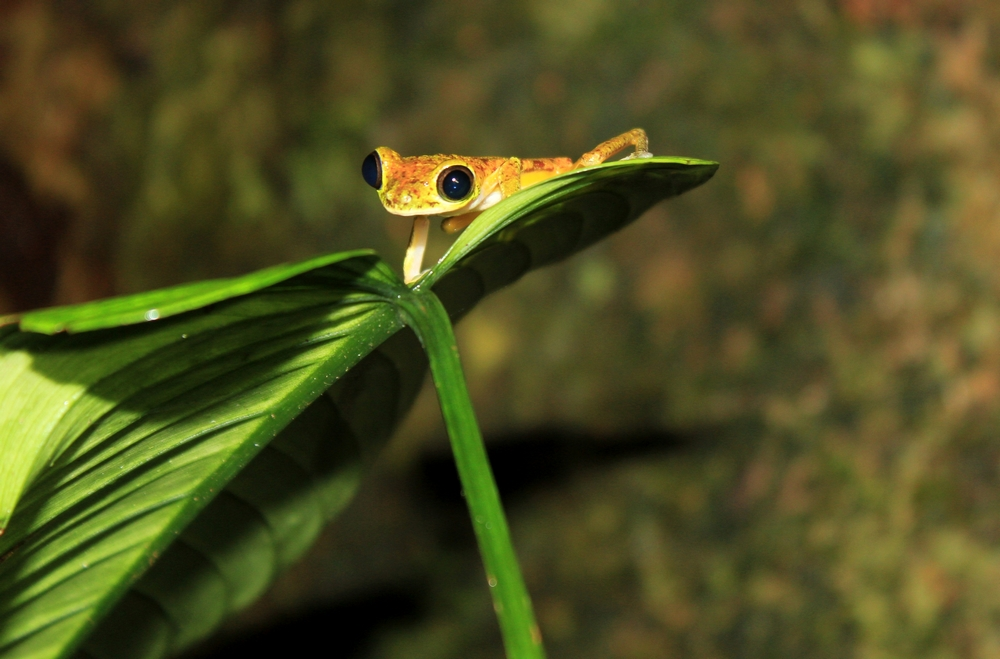 15 jours dans la jungle du Costa Rica - Page 2 961487lemur2r