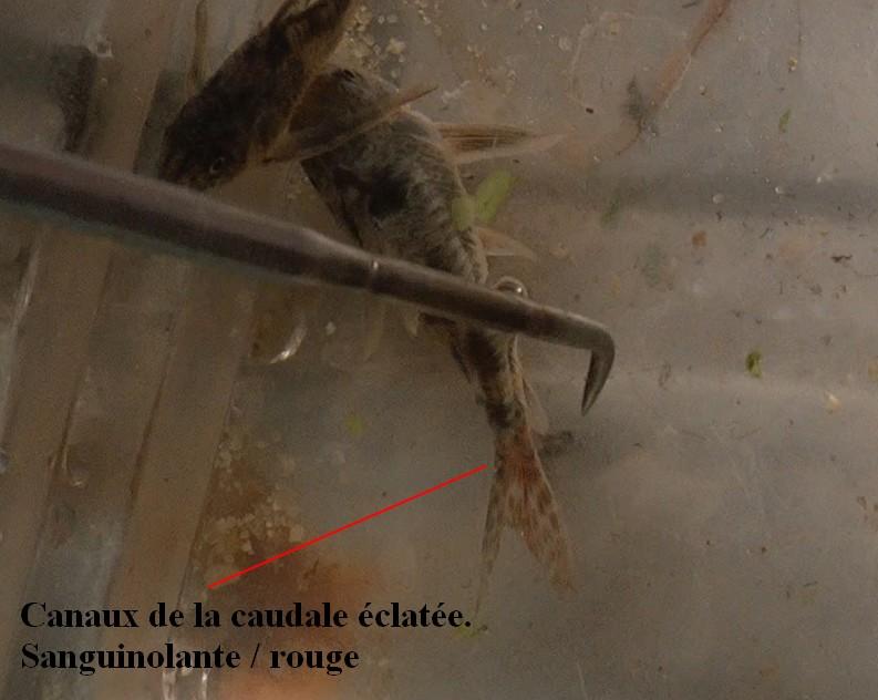 Mort Foudroyante Corydoras 968350Sanstitre4