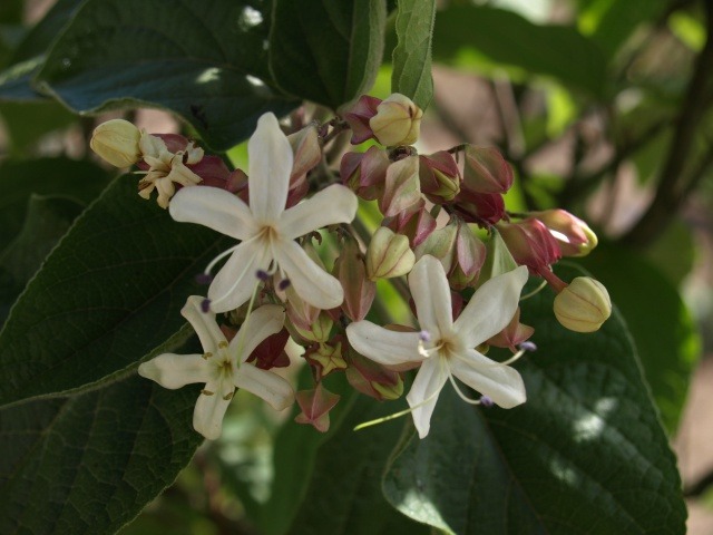 clerodendron trichotomum 973881P9081110