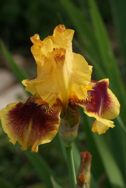 Floraisons 2016 de nos grands iris barbus et Bilan - Page 5 974048035