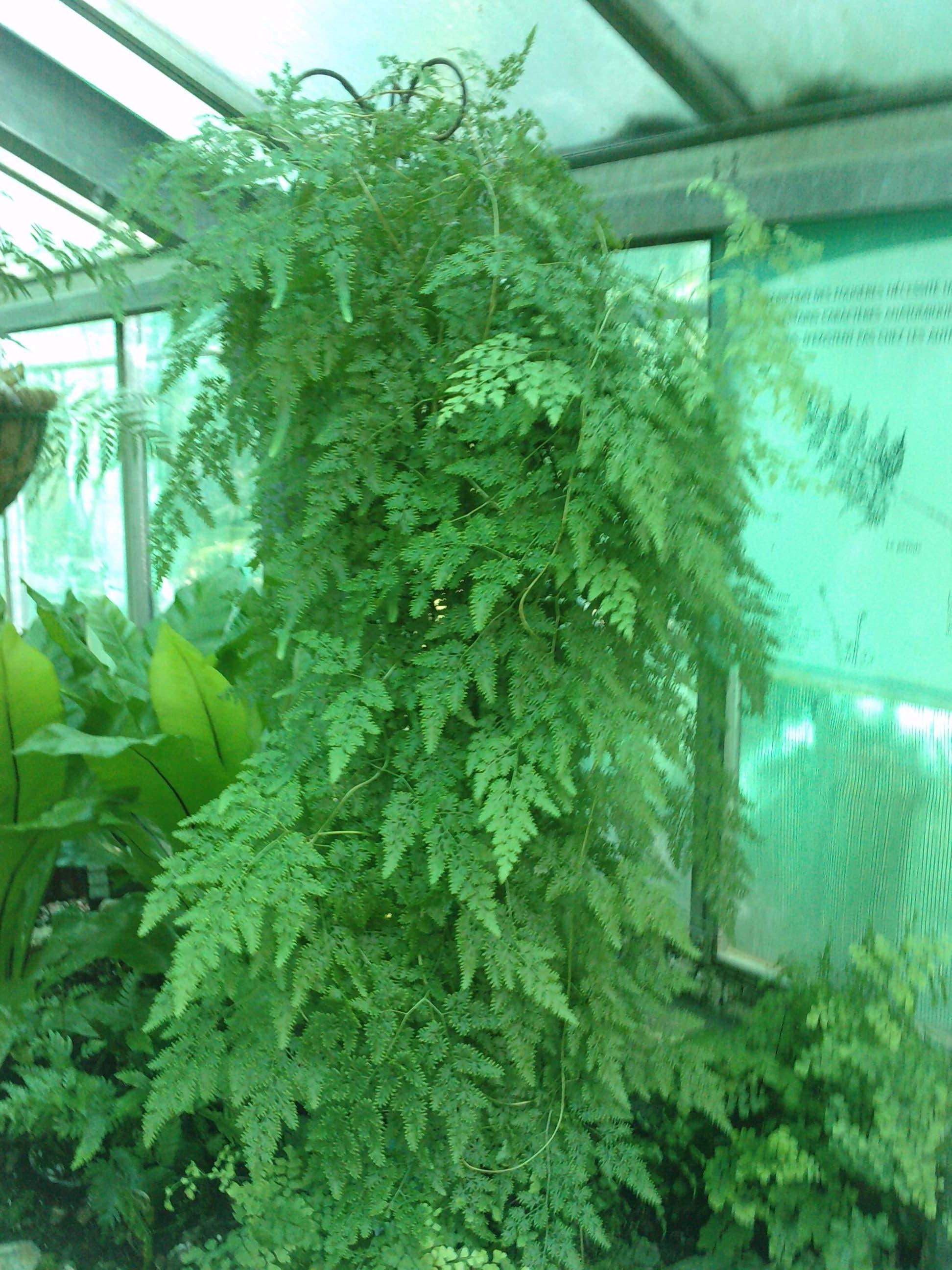 Lygodium japonicum  976913P17051110460003