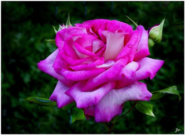 La rose Fan 977222LaroseFan