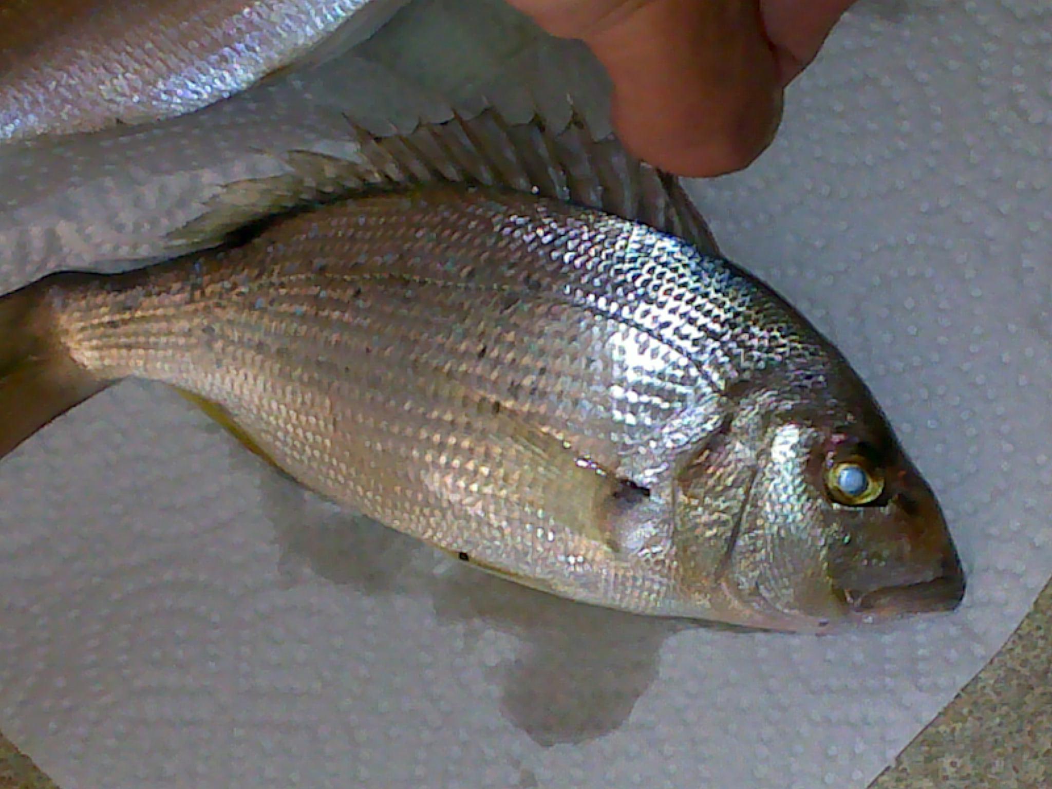 Pouvez vous m'aidez à reconnaitre ce poisson svp :) 978063dora1