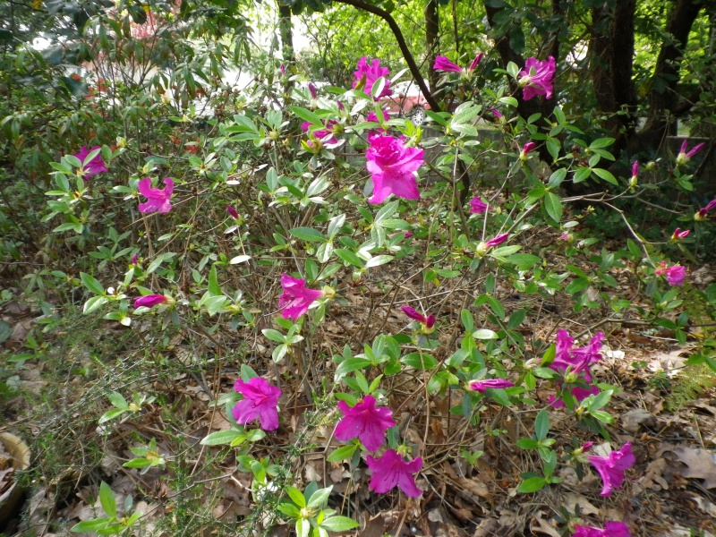avril, jardin fébrile - Page 5 981772IMGP4340