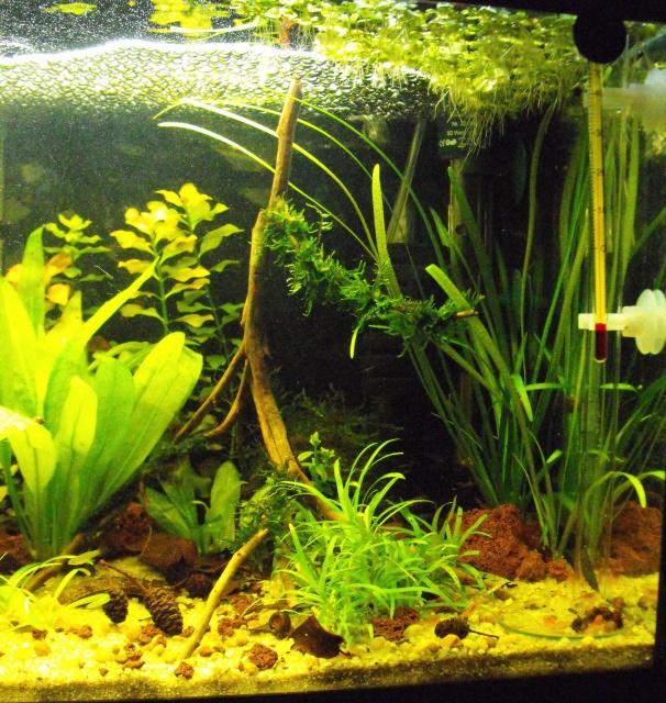 mes aquariums 983488DSCF6188