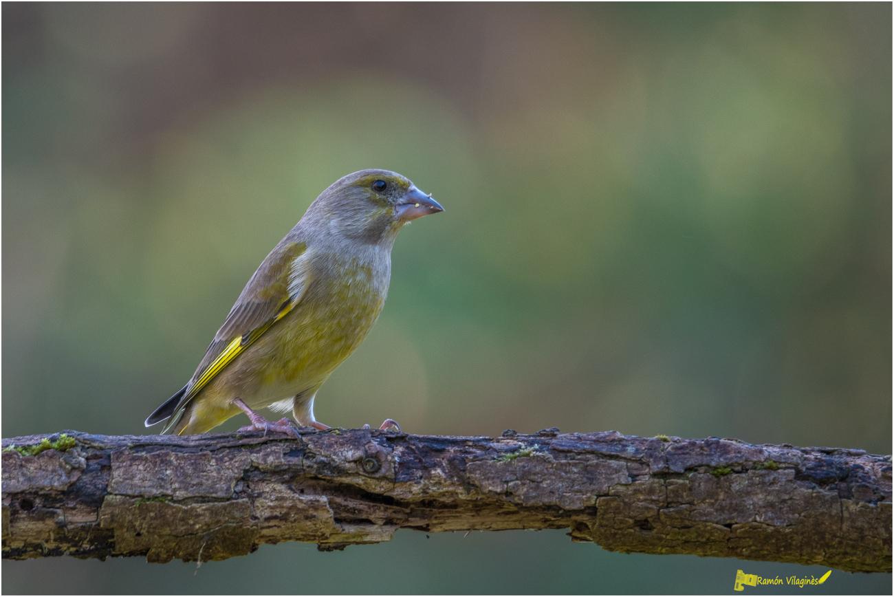 Petits oiseaux.... 988534D500693Modifier